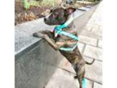 Adopt Mancala a Black American Pit Bull Terrier / Mixed dog in Washington