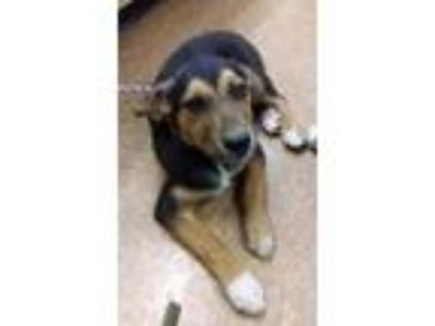 Adopt Johnny a Black German Shepherd Dog / Australian Shepherd / Mixed dog in