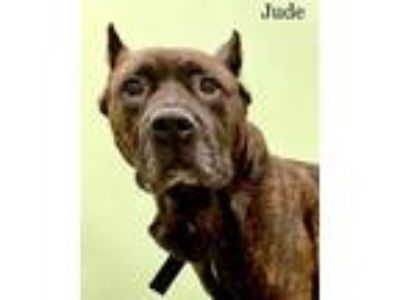 Adopt Jude a Cane Corso / Pit Bull Terrier / Mixed dog in Madison, NJ (25225646)