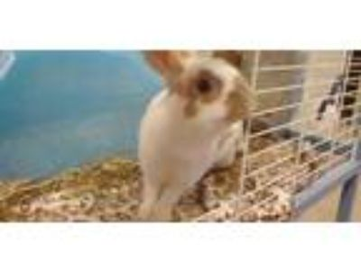 Adopt Biscuit a White Dutch / Dutch / Mixed rabbit in Clearfield, PA (25563568)