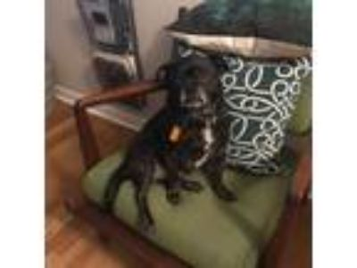 Adopt Mack N Cheese a Pug, Terrier