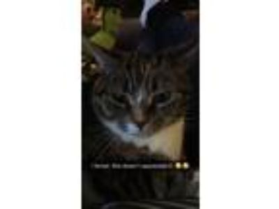 Adopt Daisy a Tortoiseshell American Shorthair / Mixed cat in Medford