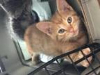 Adopt Stewie a Orange or Red Domestic Shorthair / Mixed cat in Tallahassee