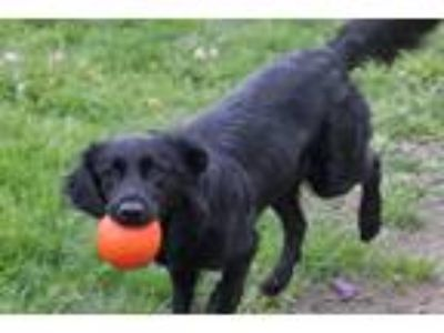 Adopt RAVEN a Black Flat-Coated Retriever / Border Collie / Mixed dog in Euclid