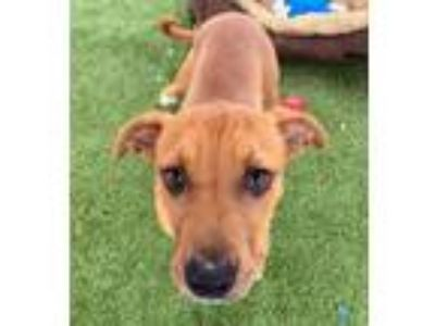 Adopt Tini a Pit Bull Terrier, Mixed Breed