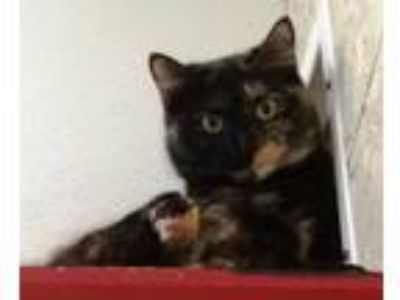 Adopt Rainbow Bright a Domestic Short Hair