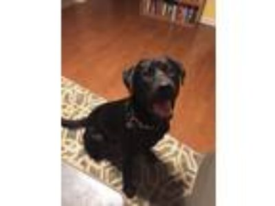 Adopt Lincoln a Black Labrador Retriever / American Pit Bull Terrier dog in