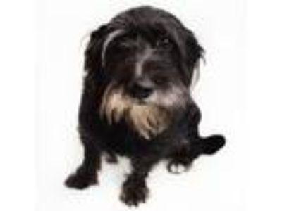 Adopt Monica (Los Angeles) a Basset Hound, Terrier