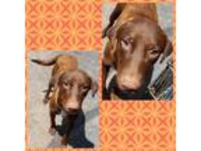 Adopt Chloe a Brown/Chocolate Spaniel (Unknown Type) / Labrador Retriever /