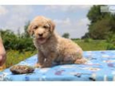 F1b Goldendoodle PORCELAIN non shedding SOON