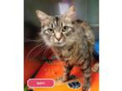 Adopt Buffy - PETSEN$E and FREE Gift Bag a Maine Coon, Norwegian Forest Cat