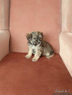 Havanese Schnauzer puppies for sale
