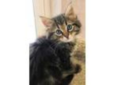 Adopt Maggie a Brown or Chocolate Domestic Mediumhair / Domestic Shorthair /