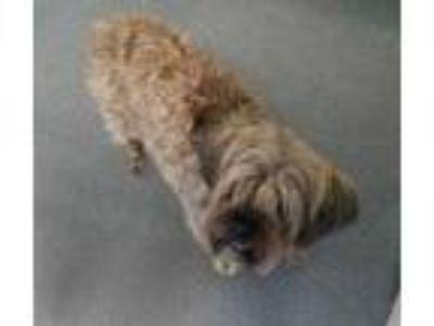 "Adopt DA 24 ""Teddy Bear"" a Border Terrier, Poodle"