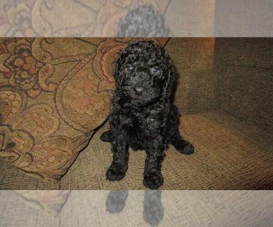Aussie-Poo PUPPY FOR SALE ADN-130010 - Aussiedoodles Chocolate Female Gorgeous Eyes