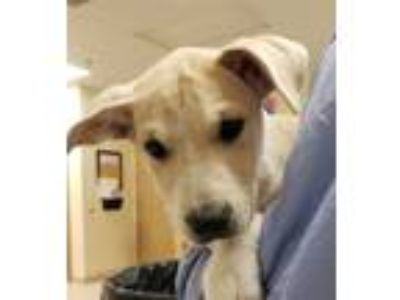Adopt Toby a Hound (Unknown Type) / Labrador Retriever / Mixed dog in