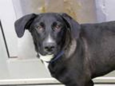 Adopt *JACKSON a Black - with White Labrador Retriever / Mixed dog in Austin