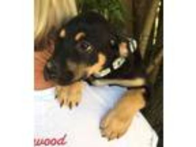 Adopt Lucy - gorgeous 3/4 lab puppy a Labrador Retriever, Rottweiler