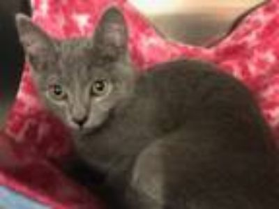 Adopt Sir Mix it Up a Russian Blue, Domestic Short Hair