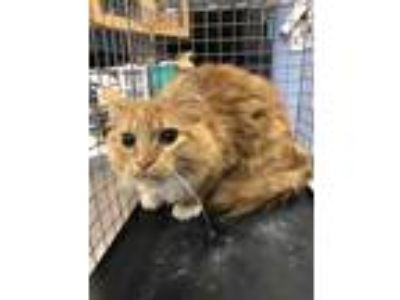 Adopt 2037 Locksley Terrace a Orange or Red Domestic Longhair / Domestic
