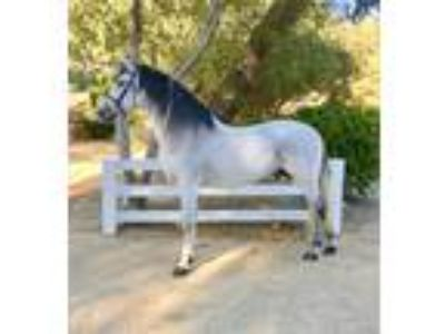 Wonderful Andalusian Gelding