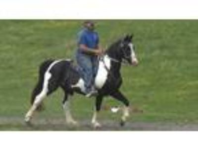 Gorgeous experienced spotted gaited trail horse