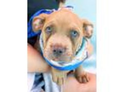 Adopt Sweetest Snickers-ADOPT ME! a Pit Bull Terrier, Mastiff