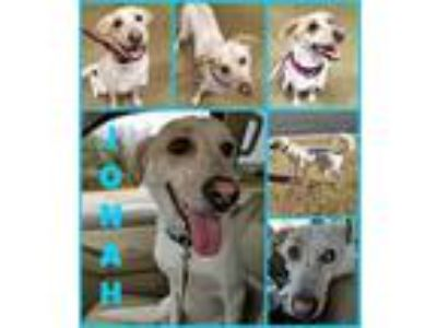 Adopt JONAH a White - with Tan, Yellow or Fawn Australian Shepherd / Siberian
