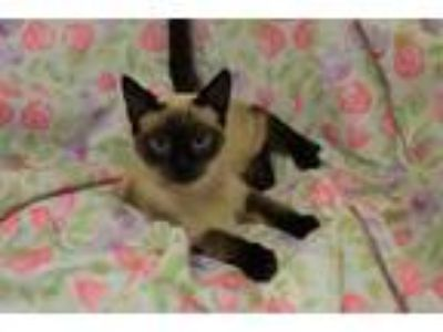 Adopt Possom a Siamese cat in Westmont, IL (25258857)