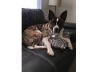 Adopt Mina a Brindle - with White American Pit Bull Terrier / German Shepherd
