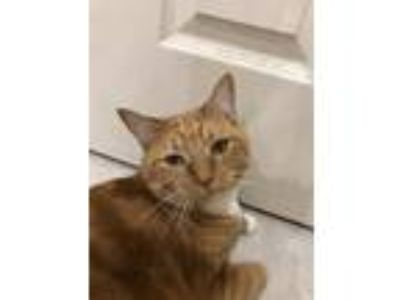 Adopt Sunshine a Orange or Red American Shorthair / Mixed cat in Coral Springs