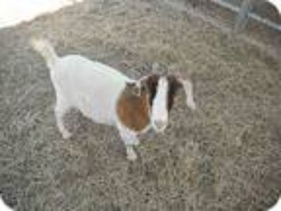Adopt Priscilla a Goat farm-type animal in West Los Angeles, CA (9126804)