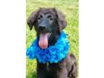 Adopt Tootles a Black Labradoodle / Spaniel (Unknown Type) / Mixed dog in