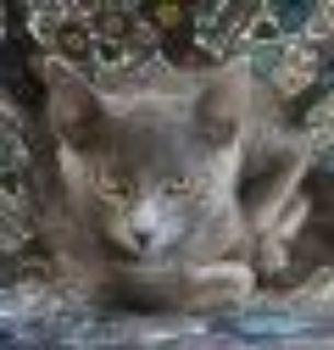 Levi Domestic Short Hair Cat