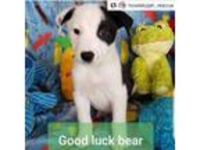 Adopt Good Luck Bear a White - with Black Border Collie / Mixed dog in Merced