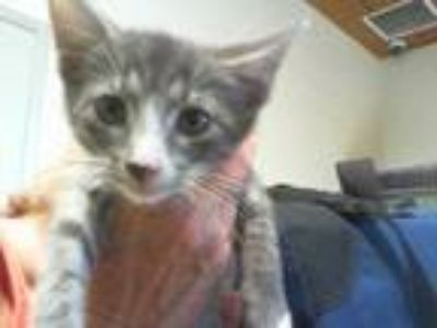 Adopt PEANUT a Gray or Blue (Mostly) Domestic Shorthair / Mixed (short coat) cat
