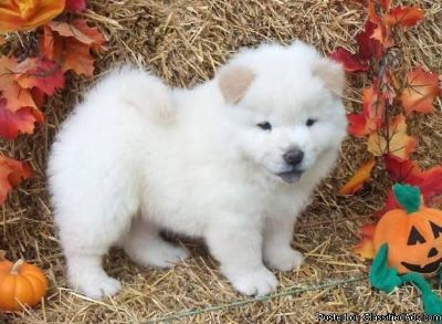GFJUYR CHOW CHOW PUPPIES AVAILABLE FOR SALE Text: (4O4) 692 XX 3714