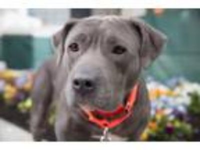 Adopt Hope a Pit Bull Terrier