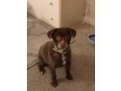 Adopt Pippa a Brown/Chocolate Terrier (Unknown Type, Small) dog in Marina del