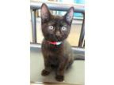 Adopt Hareth a All Black Domestic Shorthair / Domestic Shorthair / Mixed cat in