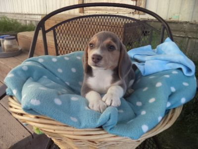Beagle PUPPY FOR SALE ADN-88963 - Rubys Blue Beagle Puppy