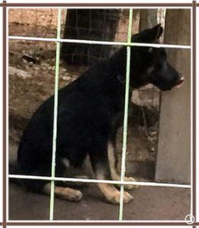 German Shepherd Dog PUPPY FOR SALE ADN-99212 - AKC German Shepherd Male for Sale