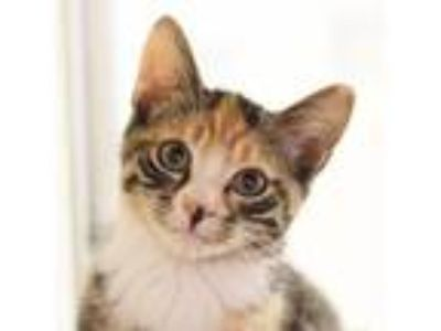 Adopt Diana a Brown or Chocolate Domestic Shorthair / Domestic Shorthair / Mixed