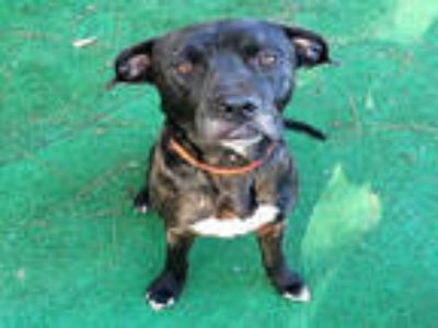 Adopt ROGUE a Black - with White Labrador Retriever / American Pit Bull Terrier