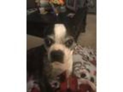 Adopt Cici a Black - with White Boston Terrier / Mixed dog in Irving
