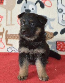 German Shepherd Dog PUPPY FOR SALE ADN-97483 - Quality German Shepherds working lines