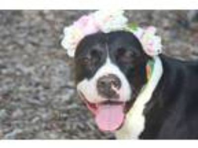 Adopt Sensitive Shay: Foster or Adopter Needed a Terrier, Great Dane