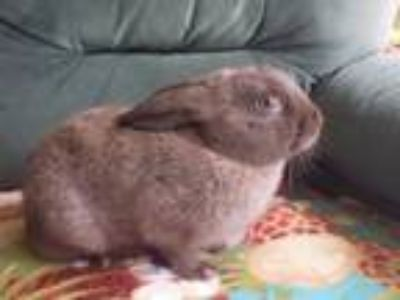Adopt Victor a American / Mixed rabbit in Haines City, Port St Lucie