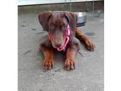Adopt Bianca a Red/Golden/Orange/Chestnut Doberman Pinscher / Mixed dog in