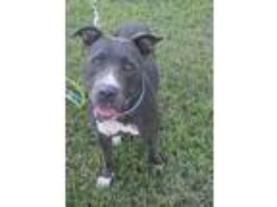 Adopt Margaret a Pit Bull Terrier